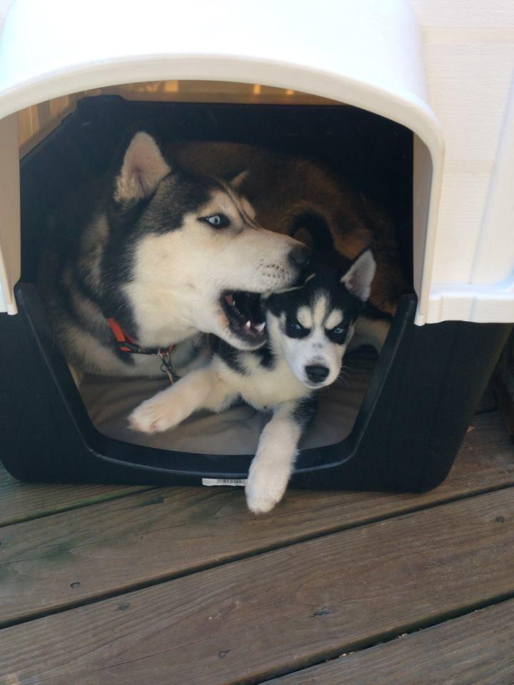 From my archive: Raising huskies, November 23, 2015 – Life ...