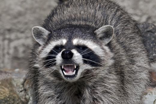 feature-raccoons2_520.jpg