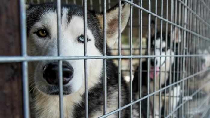 puppy-mill-huskies