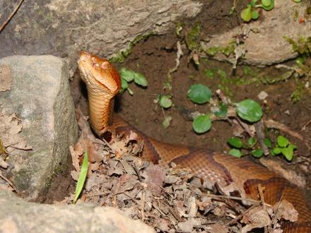 poultice_a_snake_bite.jpg